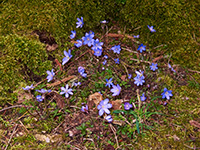sang den blå anemone